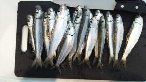 子供とサビキ釣りで大漁