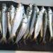 「サビキ釣りで大漁」を子供と楽しむための準備